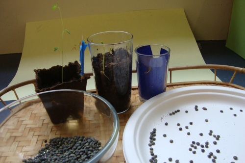 """lentils in plate for easy counting """"count out 10 lentils for your garden..."""""""